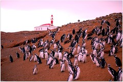 The Colony (GlossyEye.) Tags: world chile travel wild patagonia lighthouse color colour nature island penguin la nikon 55mm photograph fa colony puntaarenas 200mm islamagdalena differenza  magdalenaisland lamicizia nikond40  lamiciziafaladifferenza picnikorpicnic