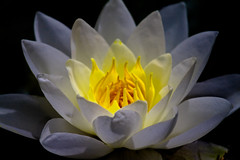 lightning waterlily (Bas Lammers) Tags: white flower macro canon waterlily wit bloem waterlelie 50d