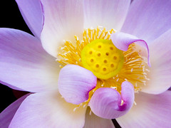 Lotus (ddsnet) Tags: plants gallery lotus sony cybershot aquatic aquaticplants        plants  aquatic hx1 photoshavebeeningallery