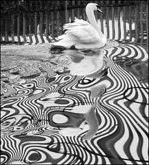 B/W Madness! (adrians_art) Tags: bw distortion abstract water birds reflections mono swan wings chaos patterns feathers madness rivers psychedelic widlife