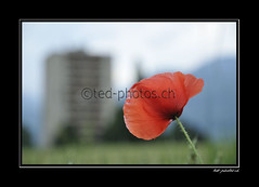 14245 (www.ted-photos.ch) Tags: orange fleur plante rouge suisse champ immeuble valais coquelicot flore bl massongex