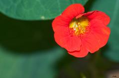 Rojo (Darkmelion) Tags: españa naturaleza santacruz flower nature rojo coruña flash flor galicia paseomaritimo d90 burgo espaa corua