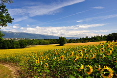 Fields of gold (Christoph Zurbuchen) Tags: blue sunset summer sky orange cloud sun sunlight plant flower green nature beautiful beauty field silhouette yellow rural landscape outside outdoors gold switzerland colorful geneva natural bright vibrant country peak sunny scene panoramic clear sunflowers plantation sunflower fields majestic genve campagne tranquil genevoise chancy platinumpeaceaward