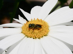 Gipsy Threat (ShaeCode) Tags: flower macro up animal bug close daisy picturesque