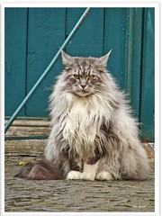 I am back again! (Jorbasa) Tags: pet animal cat deutschland hessen mainecoon maxwell katze kater gemany tier wetterau cc100 jorbasa blackclassicsilvertabby