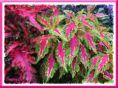 Unidentified Coleus cultivars at the Cactus Valley in Cameron Highlands, July 12 2009