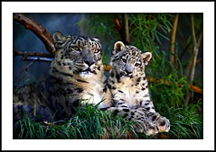 _MG_7266 (Ralston Images) Tags: cats animal canon feline wildlife leopard jaguar panther snowleopard canon5dmkii jrphotography flickrbigcats photocontesttnc09 pantheraunciauncia jasonralstonphotography
