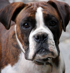 Boxer (Explored) (murtphillips) Tags: martin phillips explore boxer wexford murt anawesomeshot monasootha mygearandme ringexcellence magicmomentsinyourlifelevel1 me2youphotographylevel1