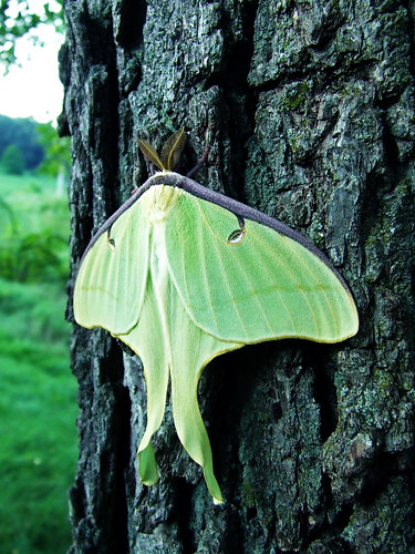 luna moth on a black walnut tree
