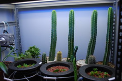 vert1 (runrun02864) Tags: cactus film water cacti technology deep culture hydroponics nft nutrient pereskiopsis