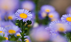 Field of Daisies (Marc_Scott-Parkin) Tags: flowers daisies daisy