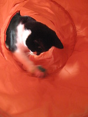 Playful (Solinde) Tags: orange cat ball kitty tunnel tuxedocat ska