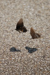 Playing hard to get (Nikon~Dolll) Tags: butterfly shadows butterflies wanderings easterntigerswallowtail naptown august2009