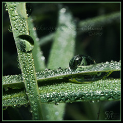 2009-05-18 Dew to Drought may 135W (Musickscapes) Tags: mist macro reflection green nature wet water grass leaves t beads droplets leaf drops spring weed texas small smooth drop karen dew drought round refraction reflective kerrville z prairie magnified hillcountry waterdrops ornamental tension sparkley macrophotography texashillcountry 1855mmkitlens musick pentaxlenses pentaxk200d musickscapes 1855mmpentaxlens valleygadget hillcountrymornings dewtodrought karenmusick