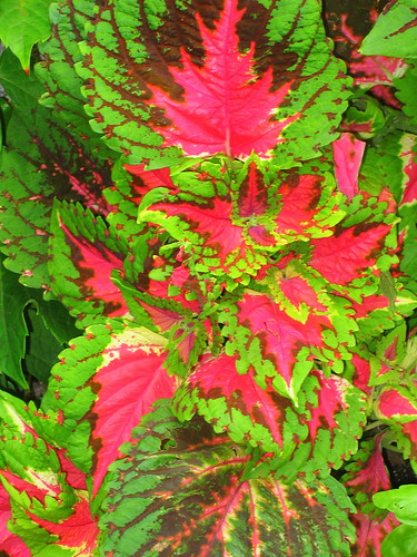coleus on Beacon Hill IMG_2846