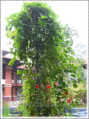 Passiflora miniata Vanderplank (P. coccinea hort.), trained up a 4.5 m tall pole (jayjayc) Tags: red plant flower green vine malaysia kualalumpur redgranadilla jayjayc passifloraminiatavanderplank passifloracoccineahort scarletredpassionflower rimbailmubotanicgardenforestofknowledge