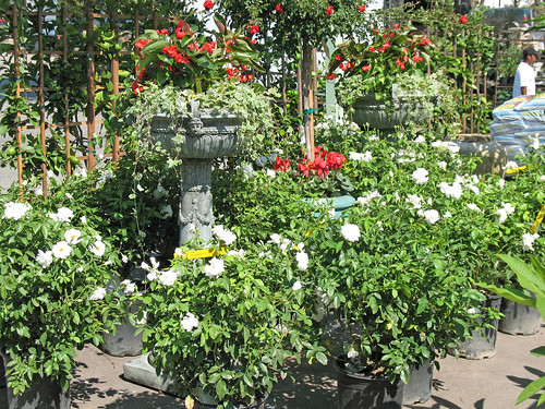 iceberg roses and more