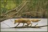 Fox-trot (hvhe1) Tags: holland nature water netherlands animal nationalpark bravo crossing searchthebest wildlife mother fox balance nursing biesbosch foxtrot specanimal abigfave hvhe1 hennievanheerden