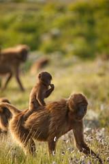 20090901-IMG_1685 (Robin100) Tags: africa animal mammal baboon ethiopia primate baboons gelada geladababoon guassa guassaplateau