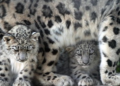 Mother & Her Tragic Cubs (Gary Wilson แกรี่ วิลสัน) Tags: nature animal wales canon photography eos cub photo foto britain wildlife bigcat snowleopard colwynbay welshmountainzoo 50d garywilson 70300do