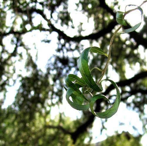 curly leaf cluster