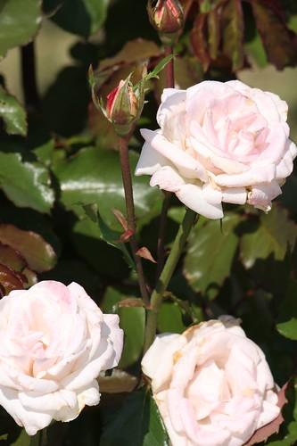 Iceberg,roses