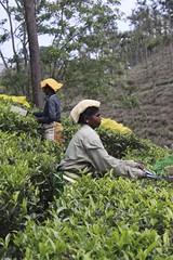 (K Chig) Tags: people india tea tamilnadu teaplantation teapicker eos50d canoneos50d