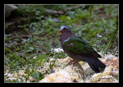 Green Wood Pigeon Or Burung Punai A Photo On Flickriver