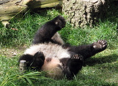 wave your hands in da air wike you doan care... (bob2cleo) Tags: bear cub panda endangered sandiegozoo baiyun sunbear sulin yunzi yunior sandiego0210 endangererd