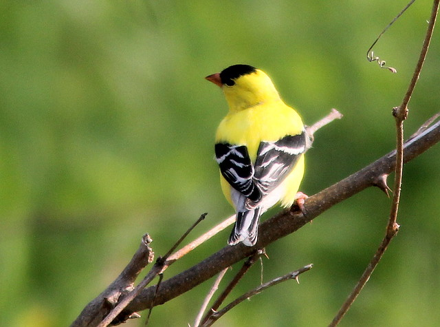 American Goldfinch 20110511