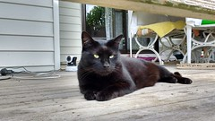 Midnight... (~ MCJ) Tags: midnight rescuecat almost8yo blackcat handsome