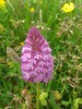 07-07-2015 PEH Pyramidal Orchid Anacamptis pyramidalis WFM 07072015 (Coventry City Council) Tags: coombecountrypark coombeabbey coventry