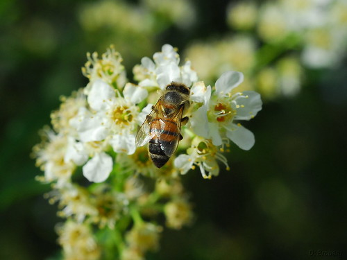 Honeybee on Chokecherry blooms