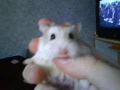 Mobile phone photos008 (ikieran97) Tags: hamsters jotoh