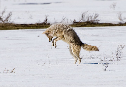 Mousing Coyote