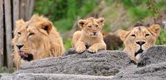 Three together (Tambako the Jaguar) Tags: wild baby cute male female cat zoo cub schweiz switzerland three big nikon feline leo father zurich lion mother kitty posing lions cubs zrich asiatic lwe felid d300 panthera lionceaux pantheraleo jasraj jeevana lwenbabies lwenbaby