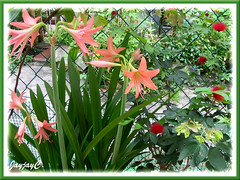 Salmon Hippeastrum and Dwarf Powderpuff at our backyard, May 9 2009