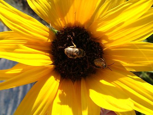 wildsunflowerbee