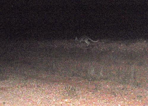 Canguro salvaje