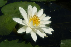 Water lily (ddsnet) Tags: plant flower water waterlily lily sony 350 aquatic  aquaticplants       lily water  tetragona water   350 lily nymphaeatetragona    nymphaea plants nymphaeatetragon aquatic nymphaea tetragona plantsnymphaea tetragona