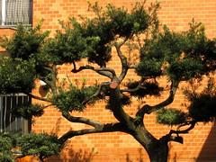 pine & orange wall, Yanaka, Tokyo.JPG