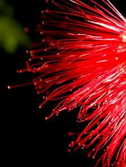 Red, Reaching (cobalt123) Tags: red arizona flower macro nature contrast scarlet catchycolors glendale dramatic vivid handheld redrule delicate redandgreen fairyduster