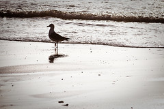Breizh #19 - Cap Fréhel (Mathieu Noel) Tags: sea bird english seagull bretagne breizh oiseau channel manche mouette capfréhel côtedemeraude