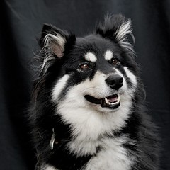 on black (26/52) (sure2talk) Tags: explore onblack taivas finnishlapphund ldl nikond60 2652 beautifulworldchallenges vosplusbellesphotos nikkor50mmf14gafs 52weeksfordogs we4709