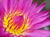 Blooming Pink Water Lily ( Daeng Dharmanoon ) / ดอกบัวผัน - แดงธรรมนูญ (AmpamukA) Tags: pink flower water lily lotus bloom blooming daeng น้ำ ดอกไม้ ชมพู ดอกบัว ampamuka dharmanoon ดอกบัวผัน แดงธรรมนูญ