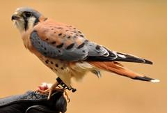 [フリー画像] [動物写真] [鳥類] [猛禽類] [ハヤブサ] [アメリカチョウゲンボウ]      [フリー素材]