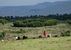 Herdsman with his cattle - Kenya (Eric Lafforgue) Tags: africa kenya culture tribal tribes afrika tradition tribe ethnic tribo afrique ethnology tribu eastafrica quénia 7877 lafforgue ethnie etiópia ケニア quênia كينيا 케냐 кения keňa 肯尼亚 κένυα кенија кенијa