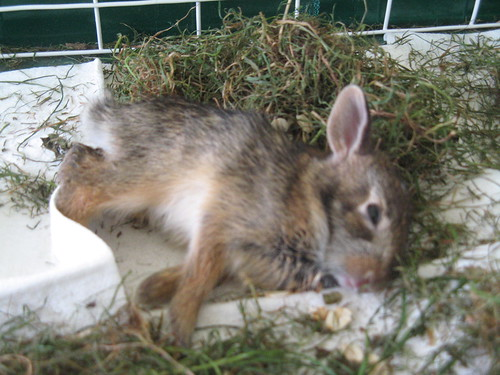 Wild Bunny named Lucky Saved by an iTwixie Tween Girl