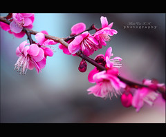 U m e (Marie Eve K.A. (Away)) Tags: pink friends flower colour nature japan kyoto elegant earlyspring  blueribbonwinner  prunusmume specialpicture colorphotoaward theunforgettablepictures themonalisasmile iloveflickrfriends