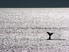Whale! (♡ Popotito ♡) Tags: ocean sunset sea naturaleza nature argentina animal fauna puerto atardecer mar cola tail scout atlantic safari explore southern cielo sur whale mermaid franca atlanticocean photosafari ballena sirena flicker oceano chubut hemisphere atlantico puertomadryn southernrightwhale austral oceanoatlantico hemisferio puertopiramide eubalaenaaustralis ballenafrancaaustral popotito saariysqualitypictures caudalfin phtosafari|